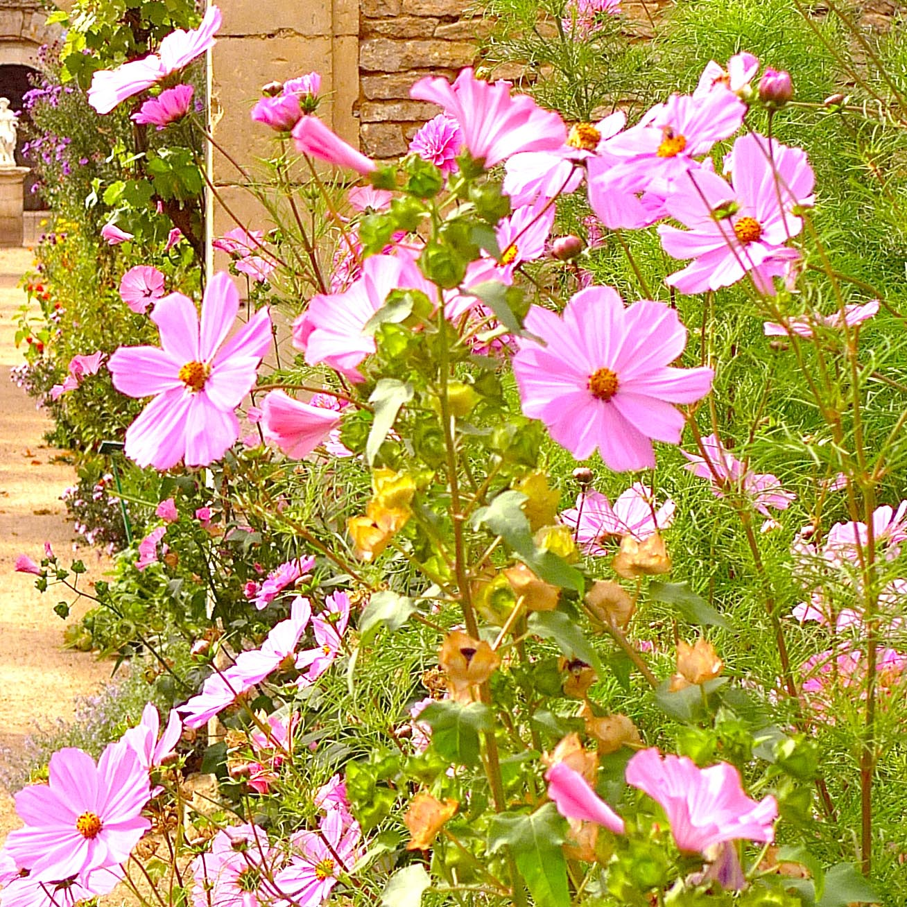 Fleurs des Chartreuses : Cosmos roses